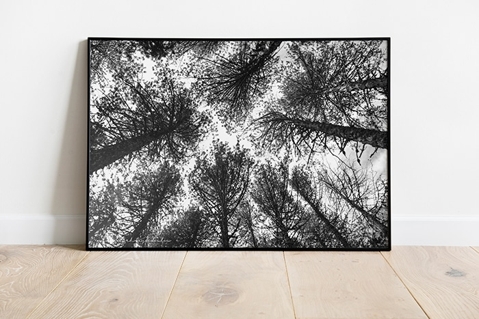 Pine trees photo