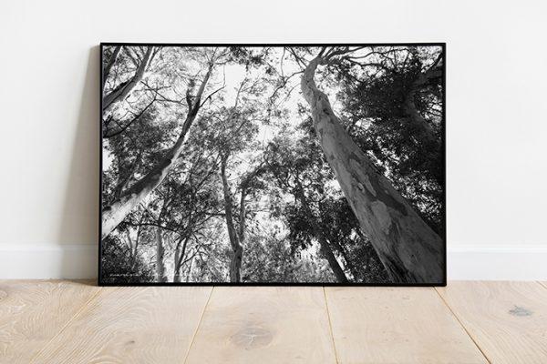 Eucalyptus trees photo 1 high quality